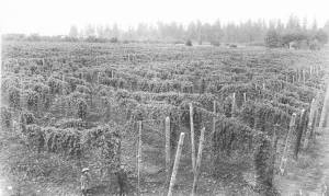 Hop Field, ca. 1900, Willamette Valley