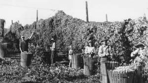 Hop Harvesting 1940